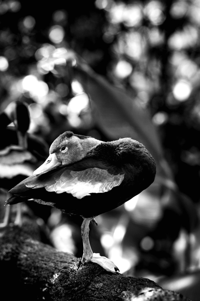 focus on foreground, animals in the wild, bird, animal themes, outdoors, no people, animal wildlife, day, nature, close-up, perching