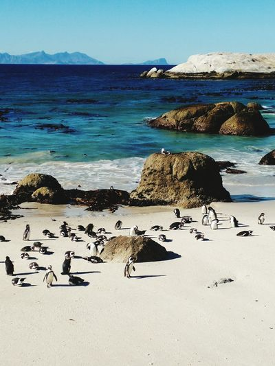 Penguin in south africa beach