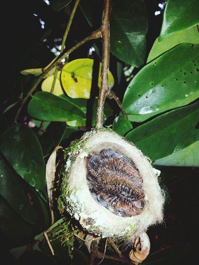 Dos pichones en su nido, Sixaola Limin CR