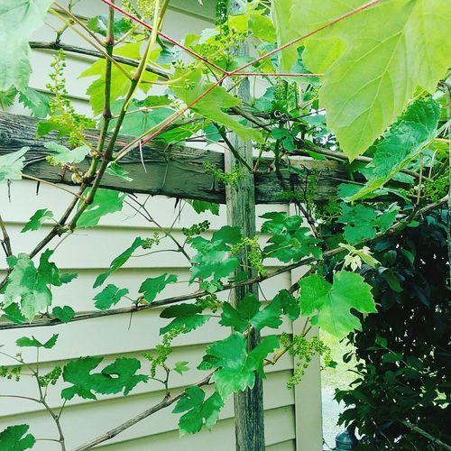 Vines Leaves Plant Shed Garage Summer