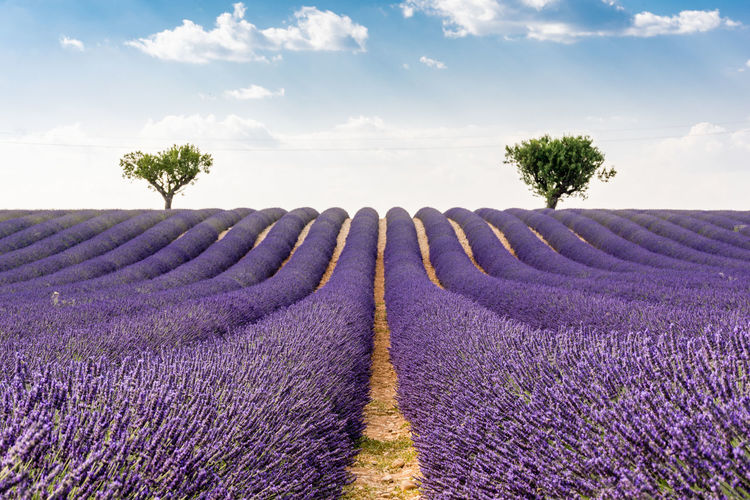 Sunset over lavender field. Simmetry Miles Away Lavender Lavender Field France Sunset EyeEm Best Shots The Essence Of Summer Composition Right On The Middle Showcase July Summer Picture With Smell Purple Rows Smells Like Summer Idyllic Travel Photography Rows Of Lavender Lavender Purple Beautifully Organized Betterlandscapes EyeEm Best Shots - Landscape Perfect Trees Lavender Rows