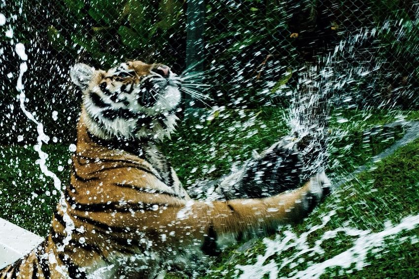 EyeEm Best Shots EyeEm Nature Lover Nature_collection The Moment - 2014 EyeEm Awards Animals Tiger Splash Thailand Q Quick Shot