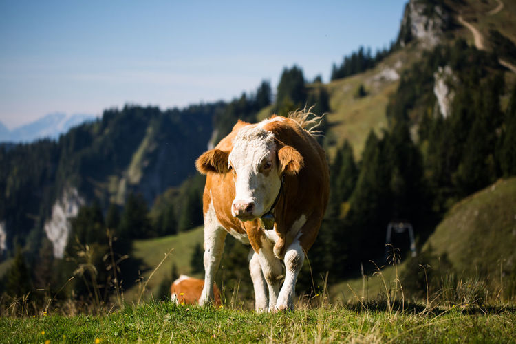 Lenggries Animal Animal Themes Cattle Cow Day Domestic Domestic Animals Field Grass Herbivorous Land Livestock Looking At Camera Mammal Mountain Nature No People One Animal Outdoors Pets Plant Portrait Vertebrate