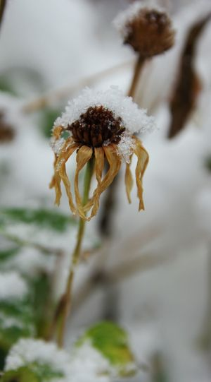 Frosty coating.❄️☃️ Dead Flower Focus On Subject Depth Of Field Snow Crystals Snow Scapes Blurred Background Photography Close-up Nature Snow Day Cold Temperature Outdoors