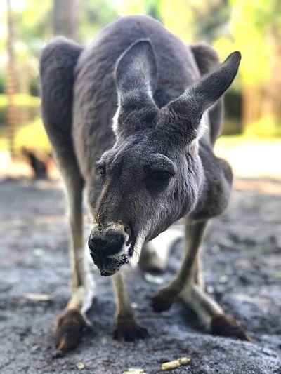 Close-up portrait of kangaroo