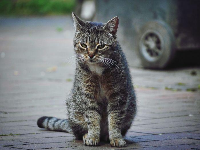 Portrait of tabby cat on street