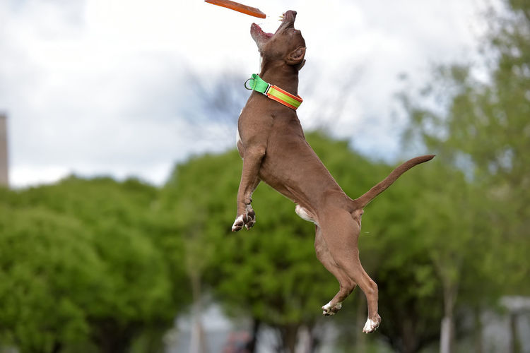Full length of a dog jumping