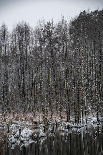 Panoramic shot of bare trees on snow covered land