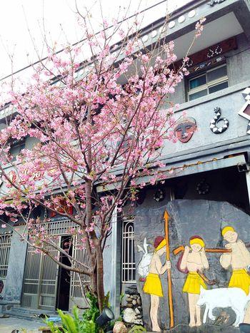 第一次上霧台只看見一棵櫻花子 Sakura