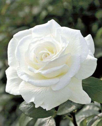 White Rose Flower Petal Flower Head Rose - Flower Growth Nature Close-up Beauty In Nature Plant Outdoors Fragility