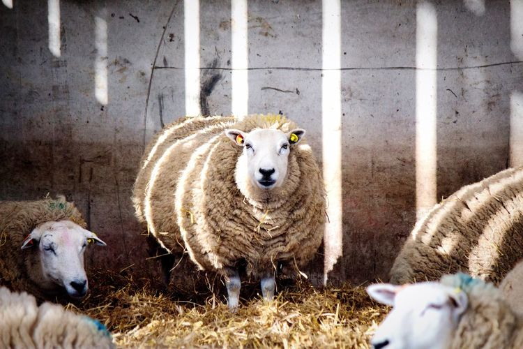 Sheep Farm Livestock Animal Themes Day Mammal Young Animal No People Outdoors Nature Close-up Colors Light Creative Light And Shadow Wool Ewe Ewes Light And Shade Baa