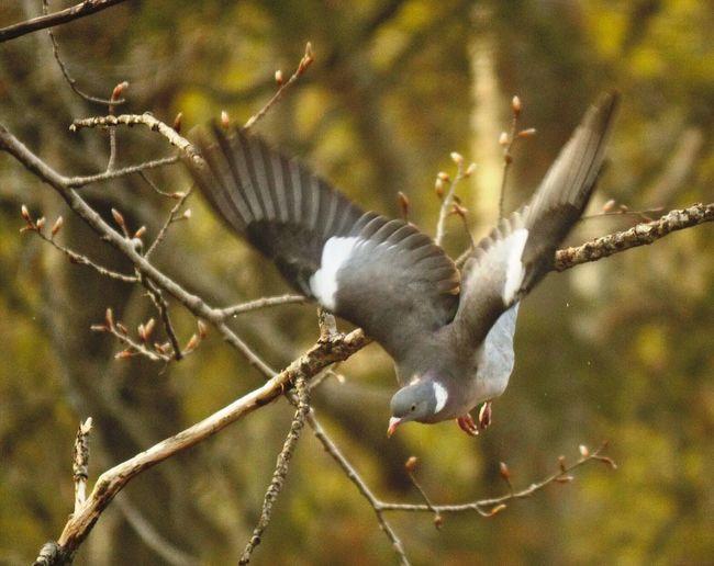 Dove in flight Dove Bird Flight Flying Tree Day Nature Animal Spread Wings Outdoors No People Farsta Sweden Godaminnen Photography
