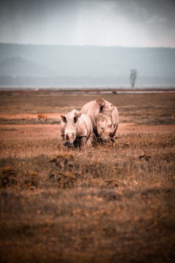 Rhinoceroses on land
