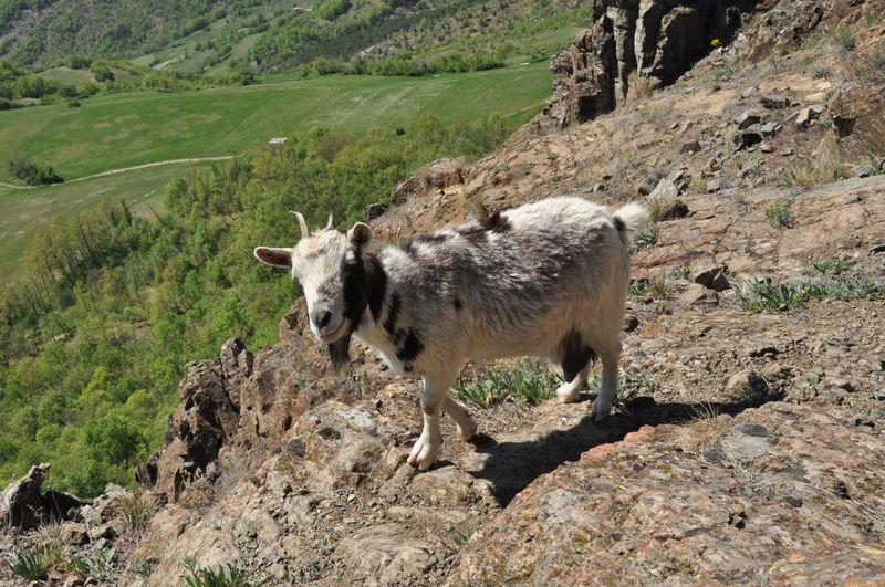 Sheep walking on mountain