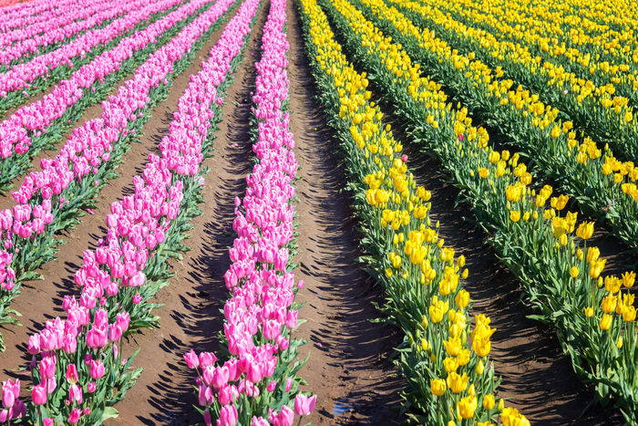 Rows of vibrant pink and yellow tulips in Woodburn, Oregon Blue Colorful Field Field Flower Flowers Green Green Color Landscape Nature Northwest Oregon Pacific Northwest  Pink Purple Red Rows Of Flowers Tourism Travel Travel Destinations Tulip Tulips USA White Woodburn