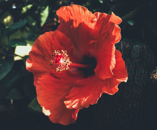 Flower Petal Flower Head Beauty In Nature Nature Growth Fragility Blooming Plant Pollen Freshness No People Stamen Red Outdoors Day Hibiscus Close-up