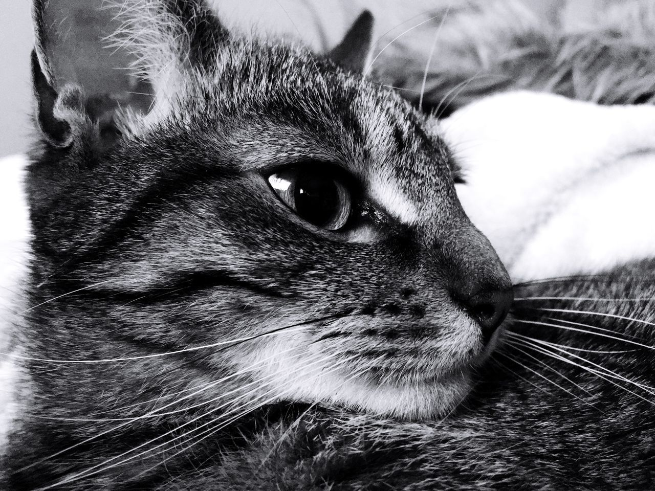 pets, domestic cat, domestic animals, one animal, animal themes, mammal, whisker, feline, close-up, animal head, portrait, indoors, no people, looking at camera, day