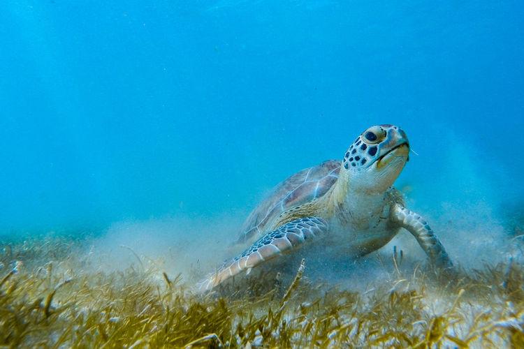 Green Turtle Swimming In Sea