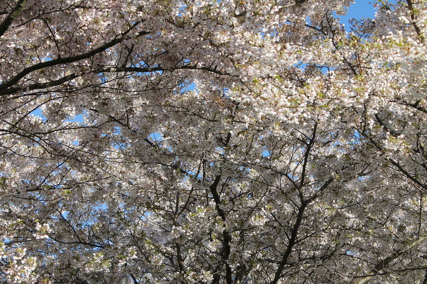 White Sakura Blosom Trees Blossom Blossom Tree Blossom Tree Flowers Sakura 2017 Sakura Bloom Sakura Blossom Sakura Copenhagen Sakura Tree Tree White Color White Sakura Blossom
