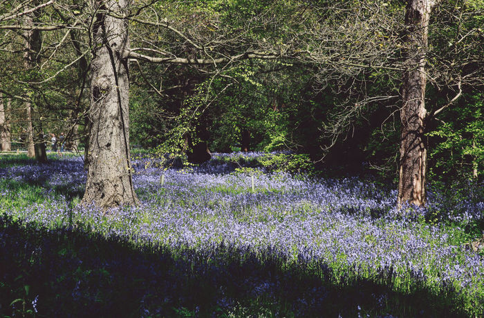 Beauty In Nature Blubells Bluebell Day Flower Forest Grass Green Color Growth Idyllic Landscape Lush Foliage Nature Nature No People Non-urban Scene Outdoors Park Plant Scenics Spring Tranquil Scene Tranquility Tree Tree Trunk Postcode Postcards