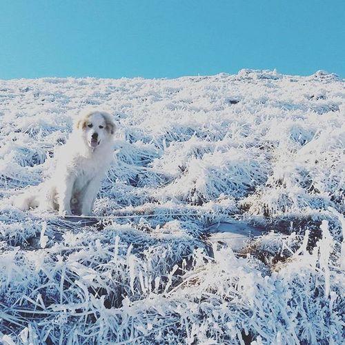 Almost as if he wasn't there. Greatpyrenees Pyr Dogsofinstagram Dogstagram Gentlegiant Doglover Dog Pyrenees Winter Wintertime EyeEm Best Shots EyeEm Best Edits Eyeem Market Pyrenean Mountain Dog