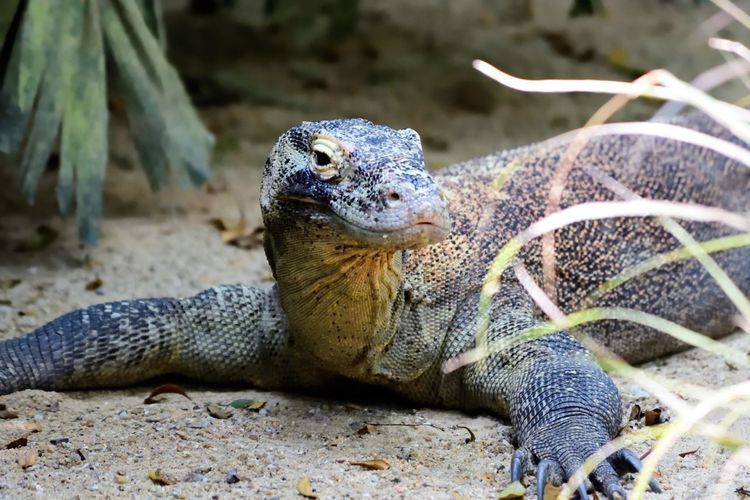 Wildlife and forestry Animal Animal Body Part Animal Head  Animal Scale Animal Themes Animal Wildlife Animals In The Wild Close-up Day Focus On Foreground Iguana Land Lizard Marine Nature No People One Animal Outdoors Portrait Reptile Solid Vertebrate