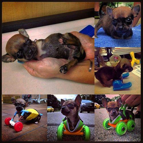 Импровизированная коляска для щенка, родившегося без передних лап. Дай Бог, все животные будут здоровы! Squareinstapic молодцы Помощьживотным СобакаИнвалид ДоброеСердце БлагоеДело ДайБог ДайБогЗдоровья
