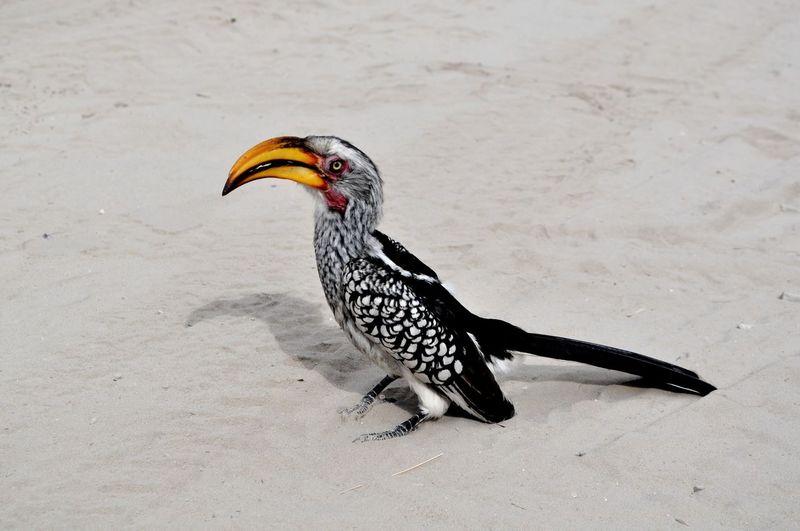 Hornbill on sand