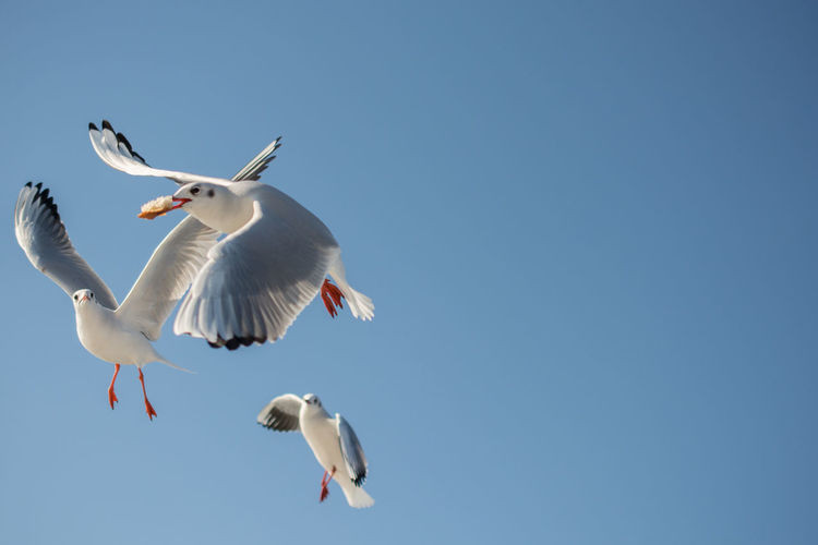 Low angle view of seagulls flying against blue sky during sunny day