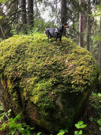 Dog Pets Nature Stone Miniature Pinscher Moss Mössa Dvärgpinscher Lost In The Landscape