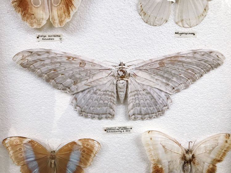 Smetbo Butterfly Animal Wing Insect Animal Animal Wildlife Animal Themes Butterfly - Insect Invertebrate No People Indoors  Nature Close-up Beauty In Nature Pattern Art And Craft One Animal Creativity Studio Shot Animals In The Wild White Color