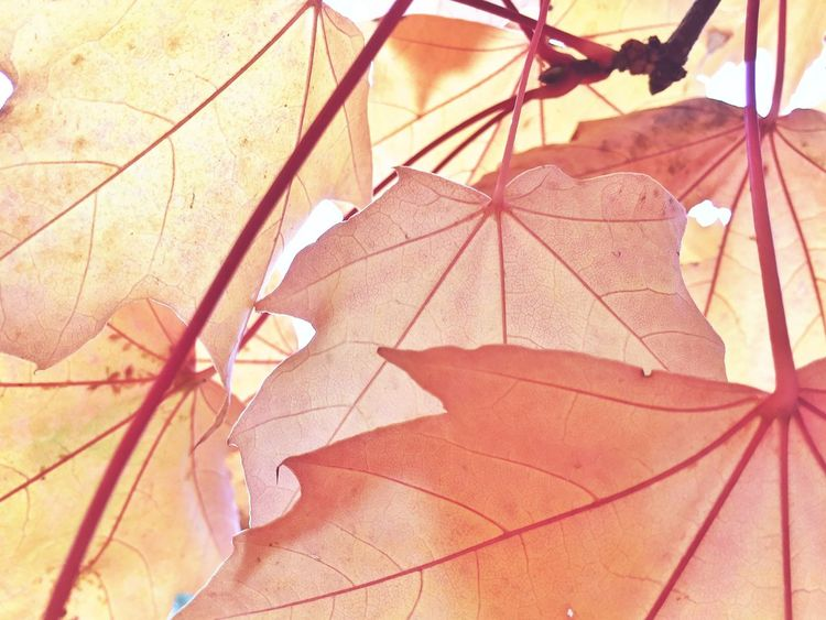 Autumn in Spain Autumn Nature Leaf Leaves Beauty In Nature Outdoors Beige Hojas Hojas Y Ramas Hojas De Otoño Otoño Nature Photography Natulareza árbol Tree