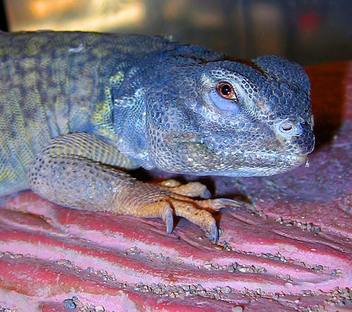 Animal Animal Body Part Animal Head  Animal Scale Animal Themes Animal Wildlife Animals In The Wild Bearded Dragon Close-up Day Focus On Foreground Iguana Lizard Looking Looking Away Nature No People One Animal Outdoors Reptile Vertebrate