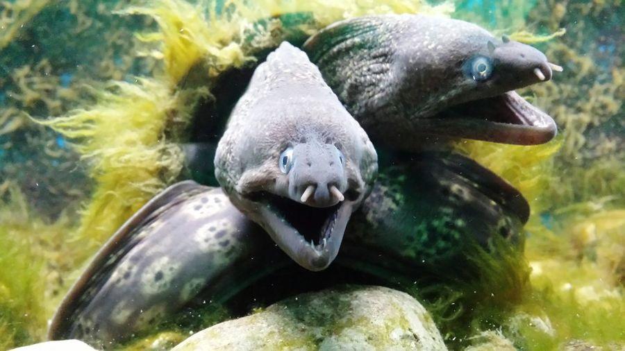 Moray eels swimming underwater