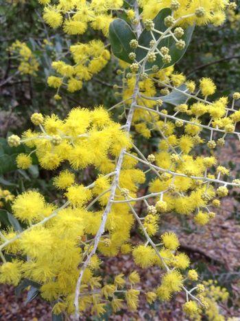 Wattle in my garden Wattle Flower Photography