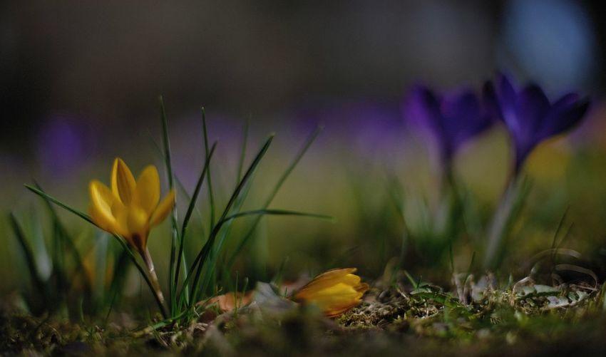 Mitakon35mmf095 Flower Crocus Close-up Selective Focus Purple Yellow Flower Head Petal Nature Inmygarden Outdoors