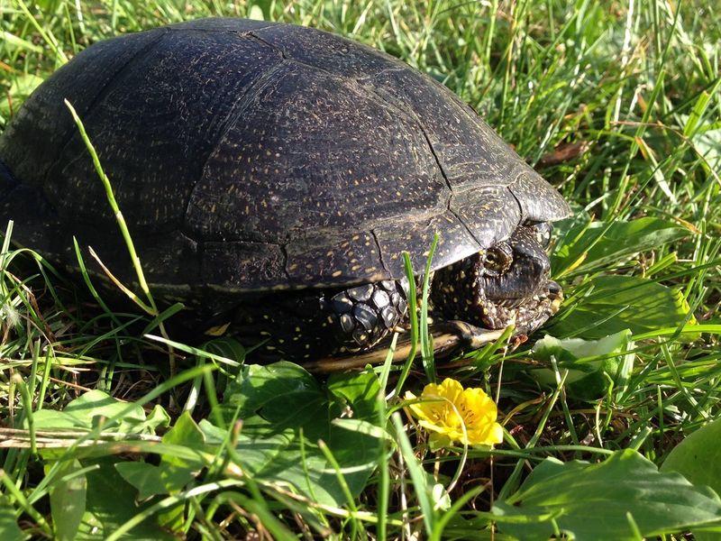 Turtle 🐢 Turtle Turtles Turtle Love черепаха