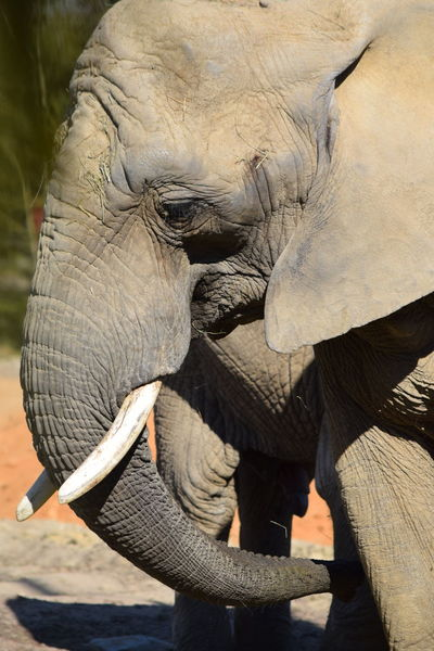 elephant African Elephant Animal Themes Animal Trunk Animals In The Wild Close-up Day Elephant Mammal No People One Animal Outdoors Tusk