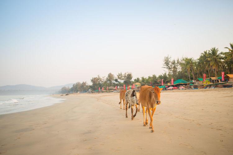 Cow walking at beach against clear sky