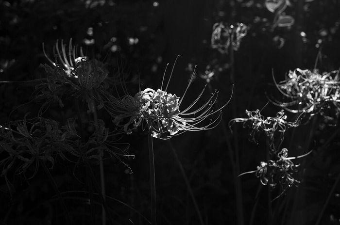 Plant Flower Clusteramaryllis Manjusaka Blackandwhite