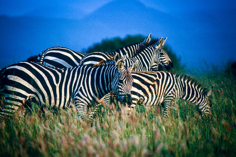 Close-up of zebras on field against sky