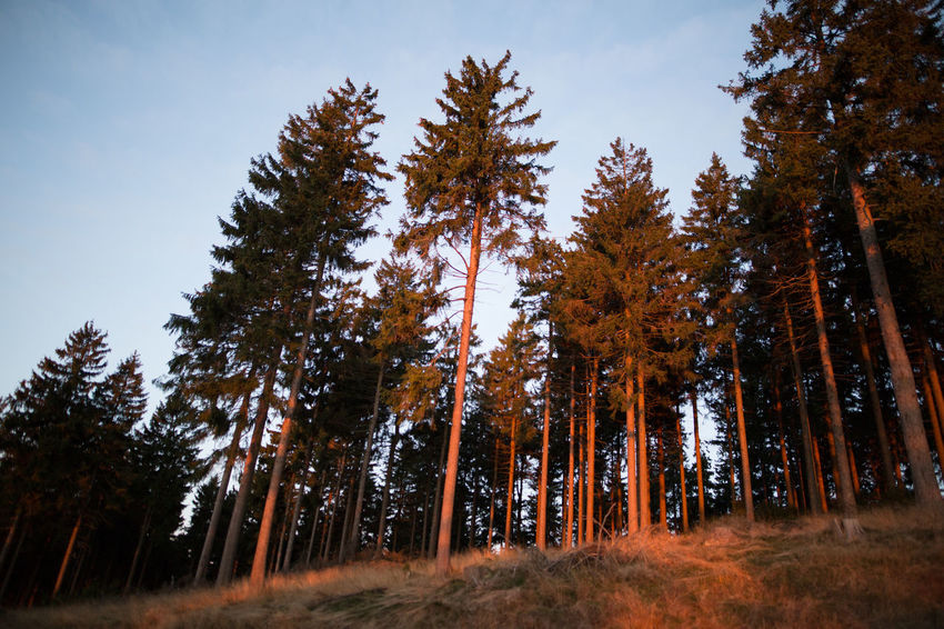 Day Forest Landscape Nature No People Outdoors Pinaceae Pine Tree Pine Woodland Sky Tree