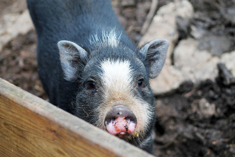 Tennessee Days Pets Pig Pet BIG Pigs Black Fat Warm Adorable Huge Piglet Wood Colors EyeEm Selects EyeEmNewHere One Animal Looking At Camera Portrait Animal Wildlife Close-up Animal Head  Mammal No People Animal Themes Animals In The Wild Outdoors Day