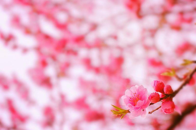 桃色吐息 Bokeheffect Bokeh Spring Time Colors Spring 春 Cherry Blossoms Spring Colours Sakura Pink 桜 Blossom Airy Flowers Dreamfantasy Hazy  Airy Colorful
