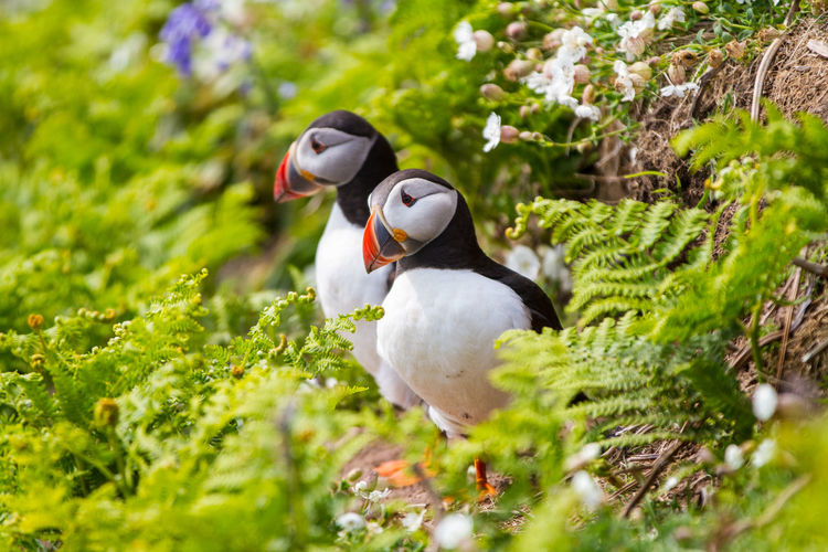 Puffins on Skomer Island of the coast of Pembrokeshire Wales UK 2019 Birds Pembrokeshire Puffin Puffins Skomer Island Uk Wildlife Bird Animal Animal Themes Vertebrate Animal Wildlife Animals In The Wild One Animal Plant Selective Focus No People Nature Green Color Day Growth Outdoors Land Side View Beauty In Nature Beak Field SKOMER