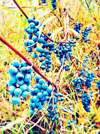 wild grapes Wild Grapes Grapes On The Vine Plant Day Nature Blue