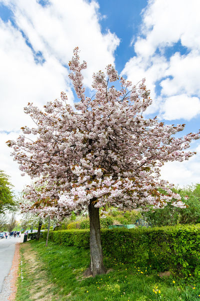 Cherry Tree / captured in Frankfurt at lovely Lohrberg - (c) Nidal Sadeq Cherry Blossom Cherry Blossoms Almond Tree Apple Blossom Beauty In Nature Blossom Botany Branch Cherry Tree Close-up Cloud - Sky Day Flower Fragility Freshness Growth Low Angle View Nature No People Outdoors Sky Springtime Tranquility Tree