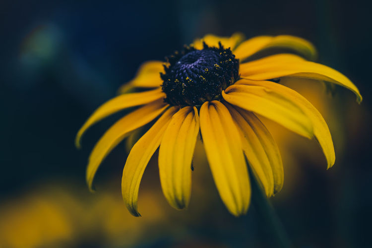 EyeEm Nature Lover EyeEm Nature Collection Nature_collection Nature Nature Photography Fragility Flower Flowering Plant Vulnerability  Yellow Inflorescence Petal Beauty In Nature Flower Head Close-up Freshness Plant Growth Coneflower Focus On Foreground Black-eyed Susan Pollen No People Outdoors Sepal The Minimalist - 2019 EyeEm Awards The Great Outdoors - 2019 EyeEm Awards