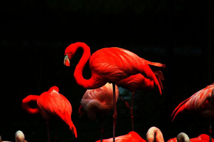 Flamingo Flamingo Bird Black Background Red Pink Color Water Close-up