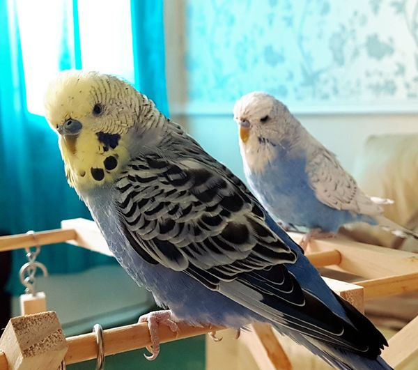 Budgerigar Bird Animal Wildlife No People Animal Themes Perching Indoors  Budgies Gibsy Alfie Gibsy And Alfie Blue Budgies Nature On Your Doorstep Natural Beauty Pets Pets Corner Pets Of Eyeem